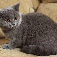 Признаки породы британской кошки и как правильно за ней ухаживать