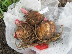 Хранить луковицы лилий