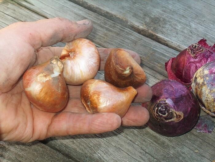 Способы хранения луковиц лилий