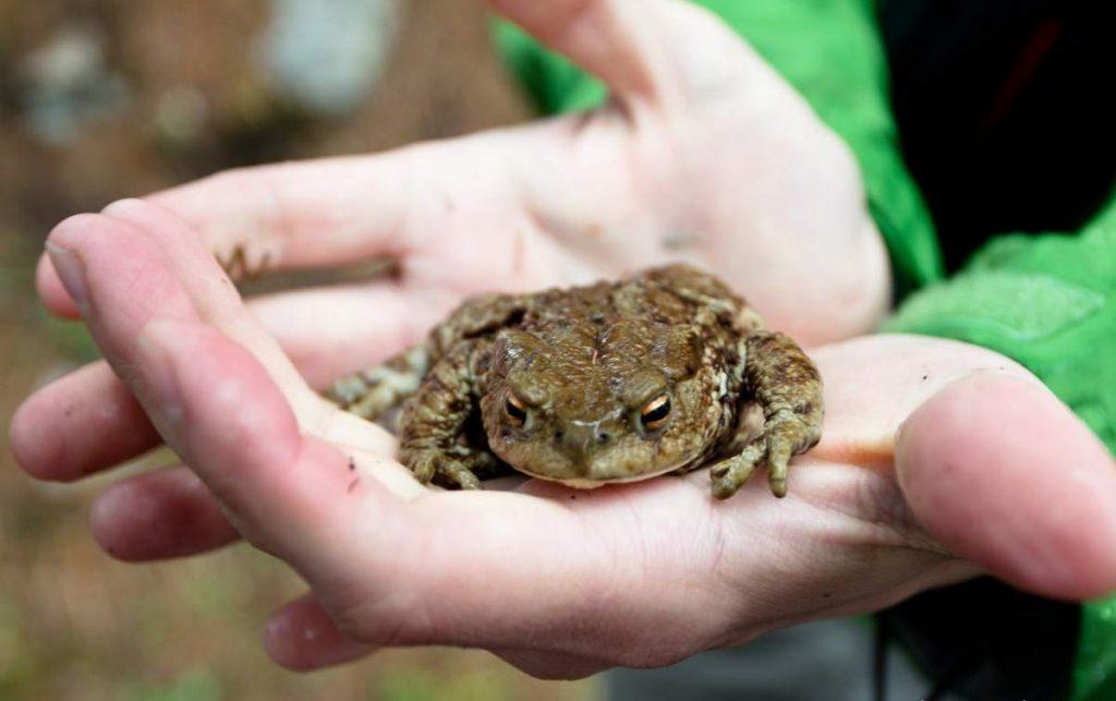 Правда ли, что от жаб бывают бородавки?